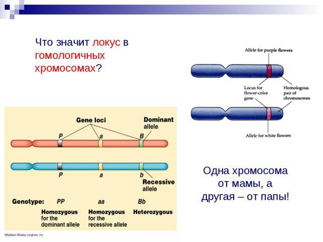 Что значит локус в гомологичных хромосомах? Одна хромосома от мамы, а другая...
