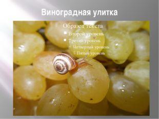 Виноградная улитка