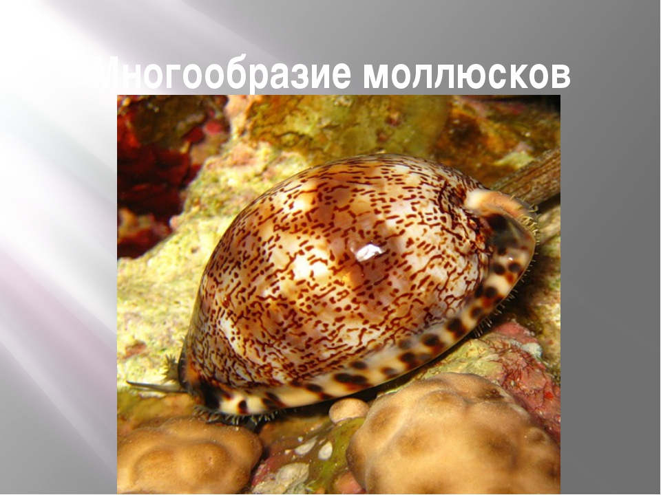 Многообразие моллюсков