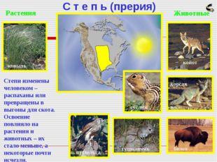 С т е п ь (прерия) Растения ковыль Животные койот корсак бизон тушканчик пуст