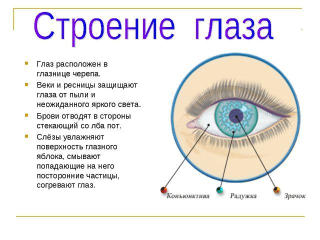 Глаз расположен в глазнице черепа. Веки и ресницы защищают глаза от пыли и не...