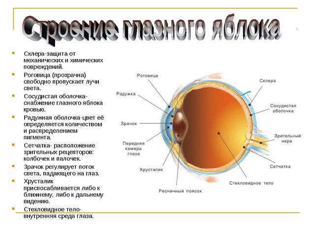 Склера-защита от механических и химических повреждений. Роговица (прозрачна)...