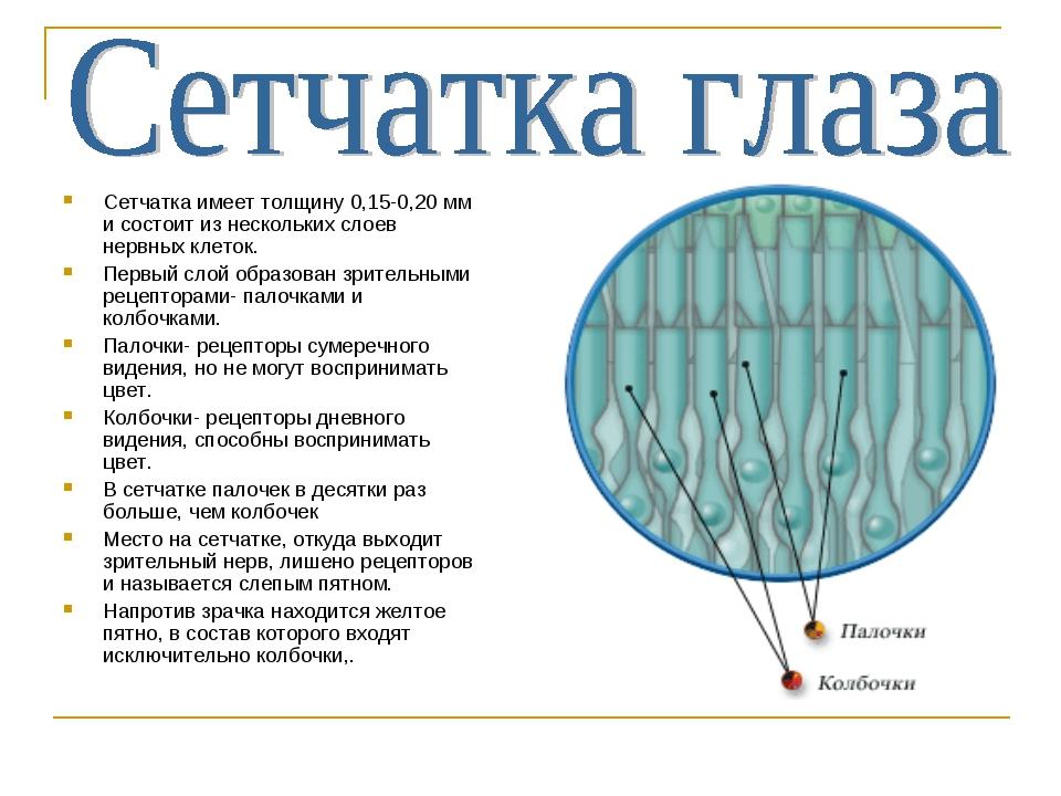Сетчатка имеет толщину 0,15-0,20 мм и состоит из нескольких слоев нервных кле...