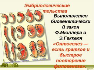 Выполняется биогенетический закон Ф.Мюллера и Э.Геккеля «Онтогенез — есть кра