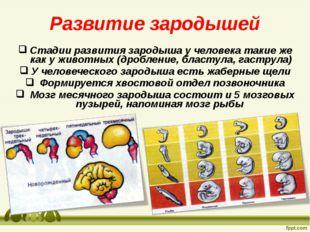 Развитие зародышей Стадии развития зародыша у человека такие же как у животны
