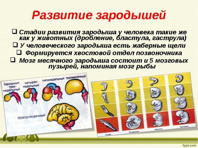 Развитие зародышей Стадии развития зародыша у человека такие же как у животны...