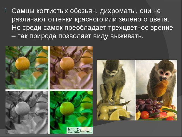 Самцы когтистых обезьян, дихроматы, они не различают оттенки красного или зел...