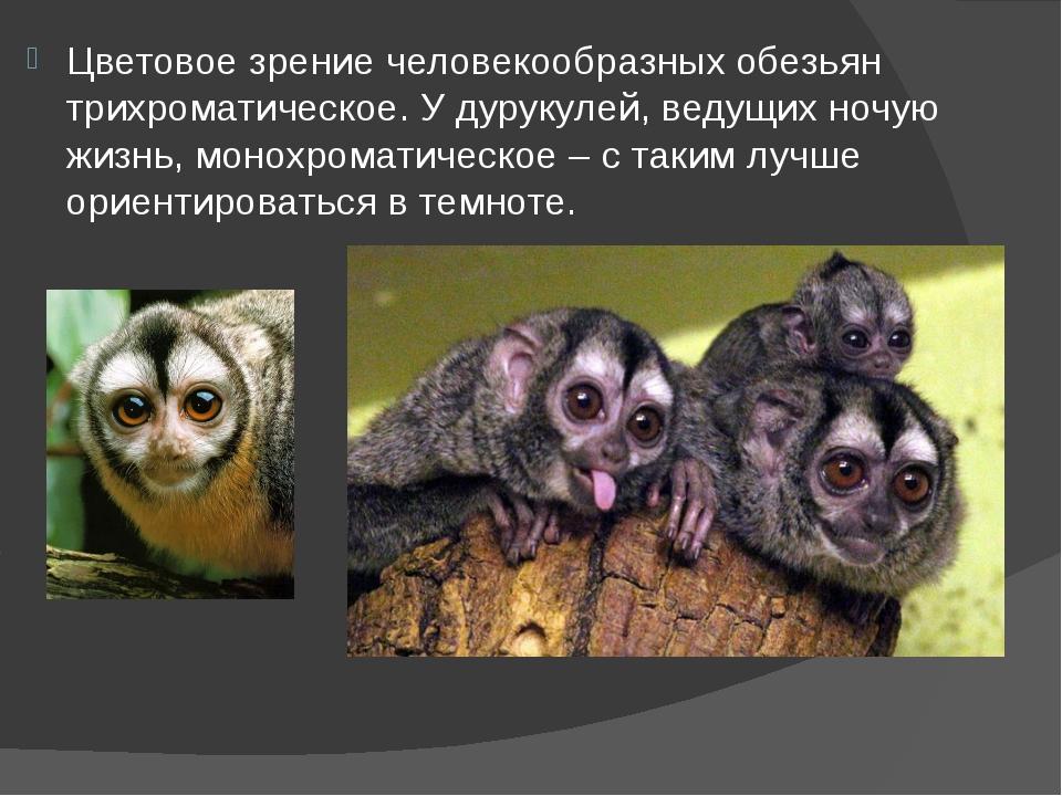 Цветовое зрение человекообразных обезьян трихроматическое. У дурукулей, ведущ...