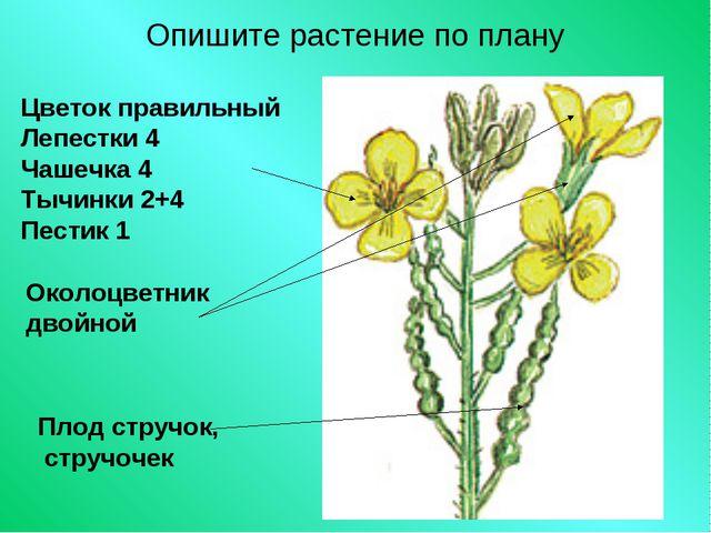 Опишите растение по плану Цветок правильный Лепестки 4 Чашечка 4 Тычинки 2+4...