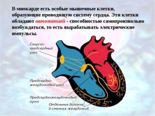 В миокарде есть особые мышечные клетки, образующие проводящую систему сердца.
