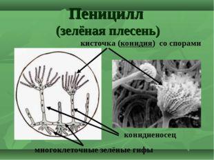 Пеницилл (зелёная плесень) кисточка (конидия) со спорами конидиеносец многокл