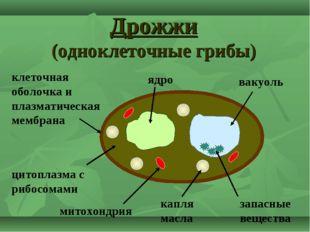 Дрожжи (одноклеточные грибы) ядро капля масла цитоплазма с рибосомами вакуоль