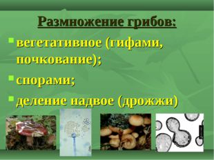 Размножение грибов: вегетативное (гифами, почкование); спорами; деление надво