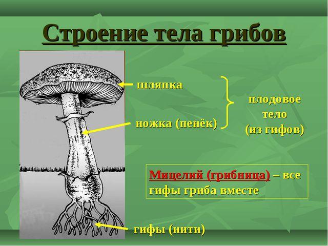 Строение тела грибов ножка (пенёк) шляпка гифы (нити) плодовое тело (из гифов...