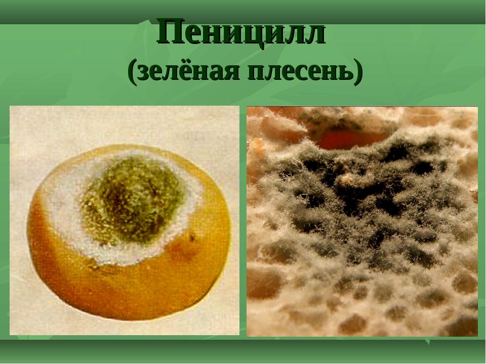 Пеницилл (зелёная плесень)