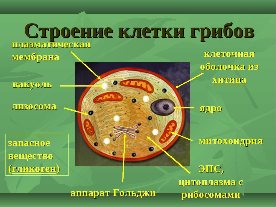 Строение клетки грибов ядро митохондрия аппарат Гольджи ЭПС, цитоплазма с риб...