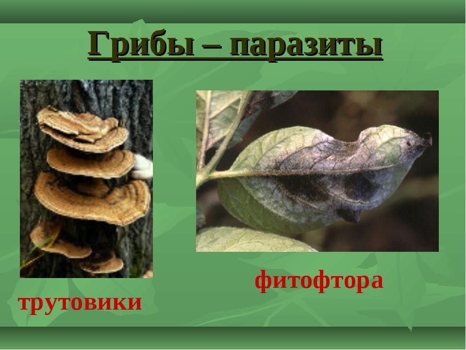 Грибы – паразиты трутовики фитофтора