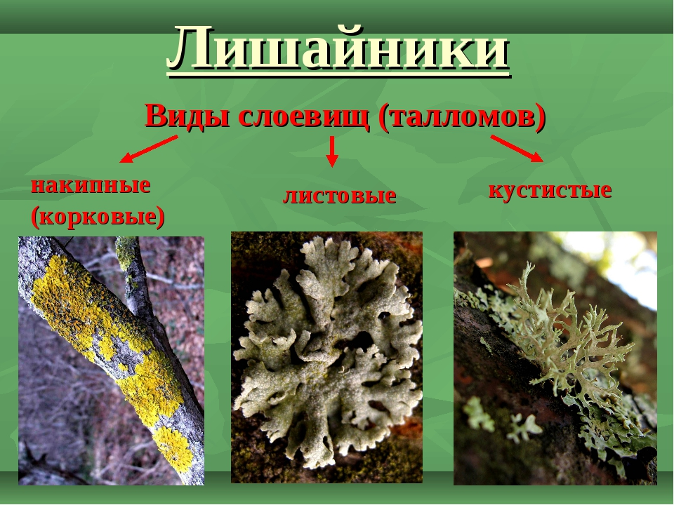 Лишайники Виды слоевищ (талломов) накипные (корковые) листовые кустистые