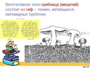 Вегетативное тело-грибница (мицелий) состоит из гиф – тонких, ветвящихся, нит