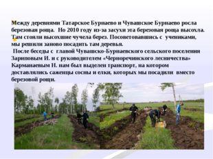Между деревнями Татарское Бурнаево и Чувашское Бурнаево росла березовая ро