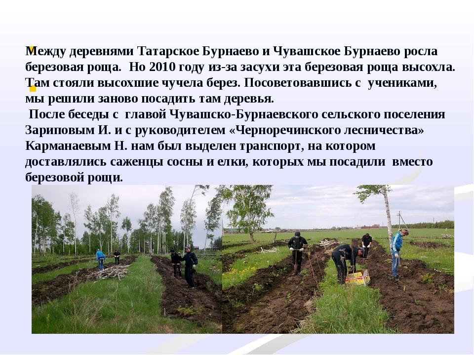 Между деревнями Татарское Бурнаево и Чувашское Бурнаево росла березовая ро...