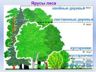 Ярусы леса лиственные деревья хвойные деревья кустарники травы, мхи грибы и я