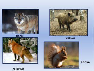 волк кабан лисица белка