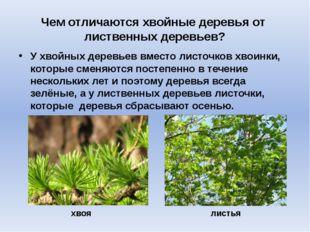 Чем отличаются хвойные деревья от лиственных деревьев? У хвойных деревьев вме