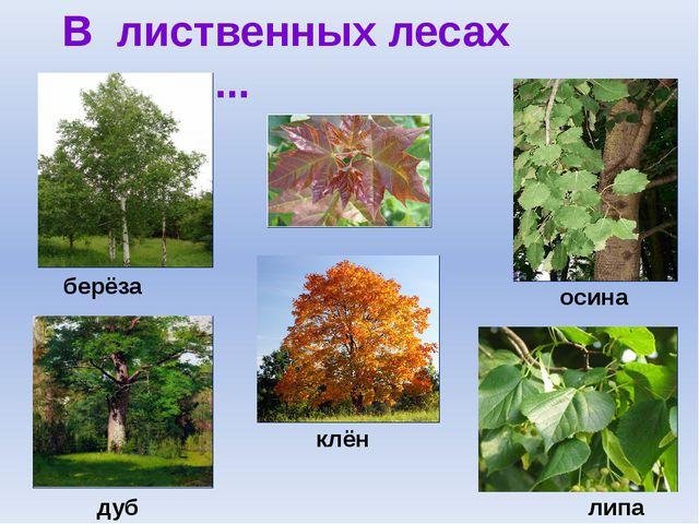 В лиственных лесах растут ... берёза осина дуб клён липа