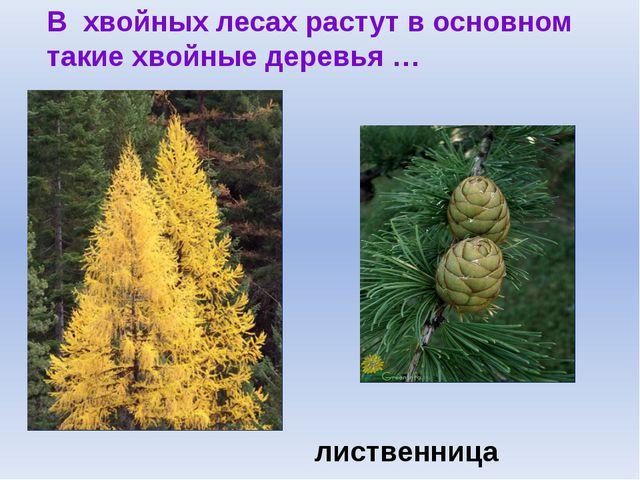 В хвойных лесах растут в основном такие хвойные деревья … лиственница