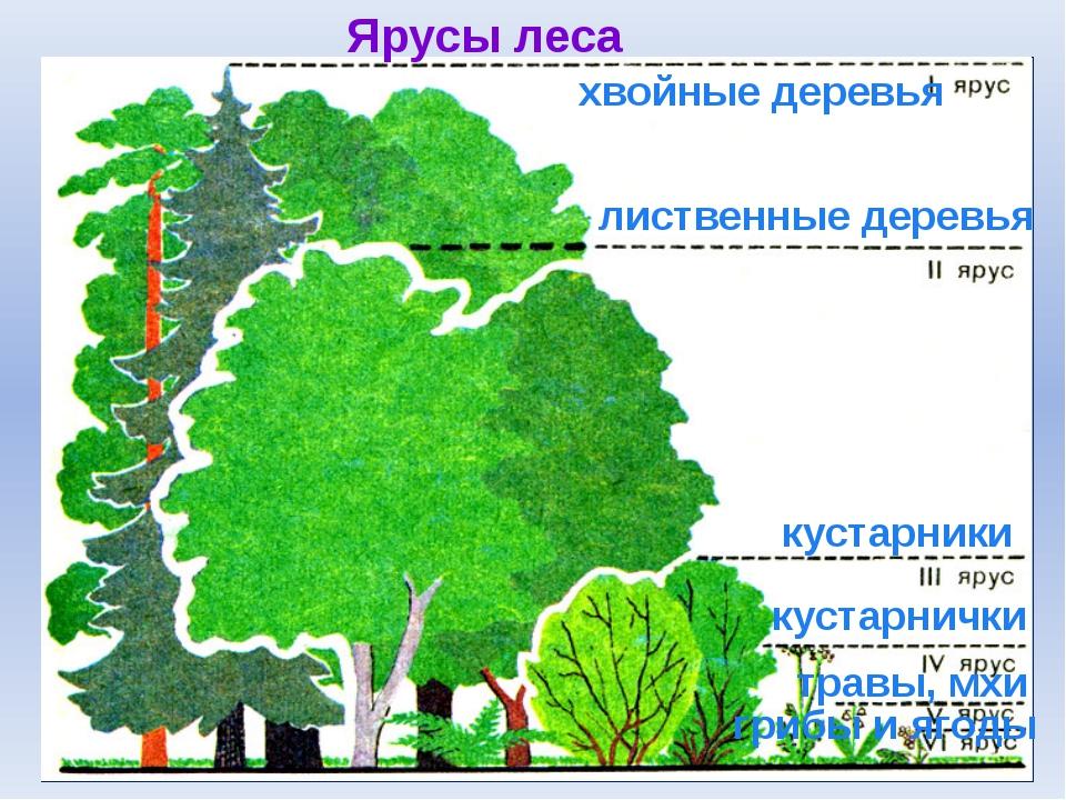 Ярусы леса лиственные деревья хвойные деревья кустарники травы, мхи грибы и я...