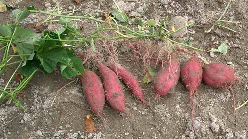 Батат, сладкий картофель (лат. Ipomoea batatas)