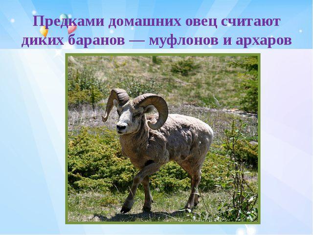 Предками домашних овец считают диких баранов— муфлонов иархаров