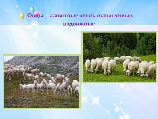 Овцы – животные очень выносливые, подвижные
