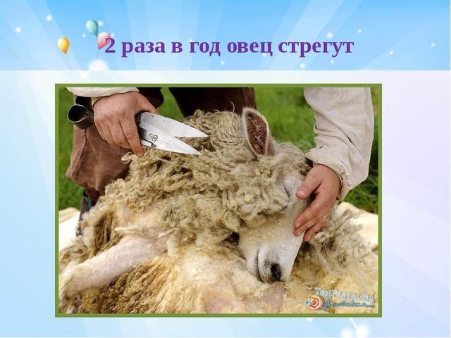 2 раза в год овец стрегут