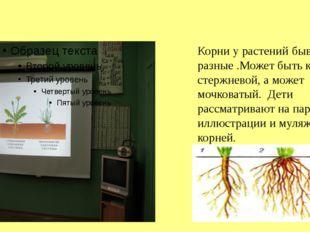 Корни у растений бывают разные .Может быть корень стержневой, а может мочков