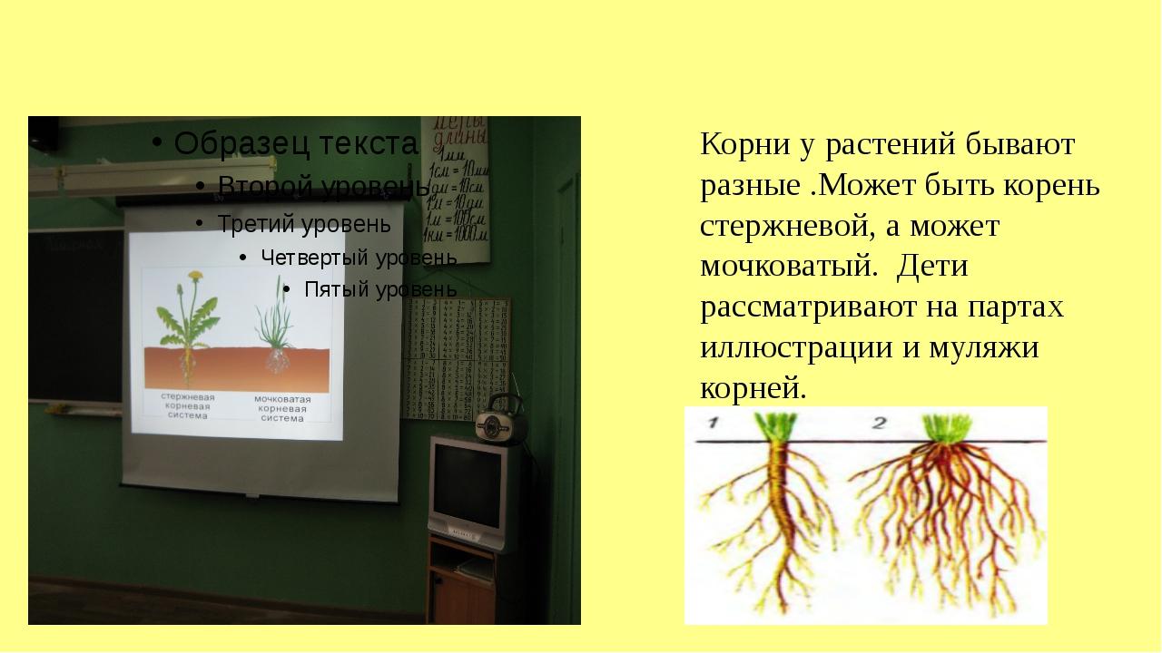Корни у растений бывают разные .Может быть корень стержневой, а может мочков...