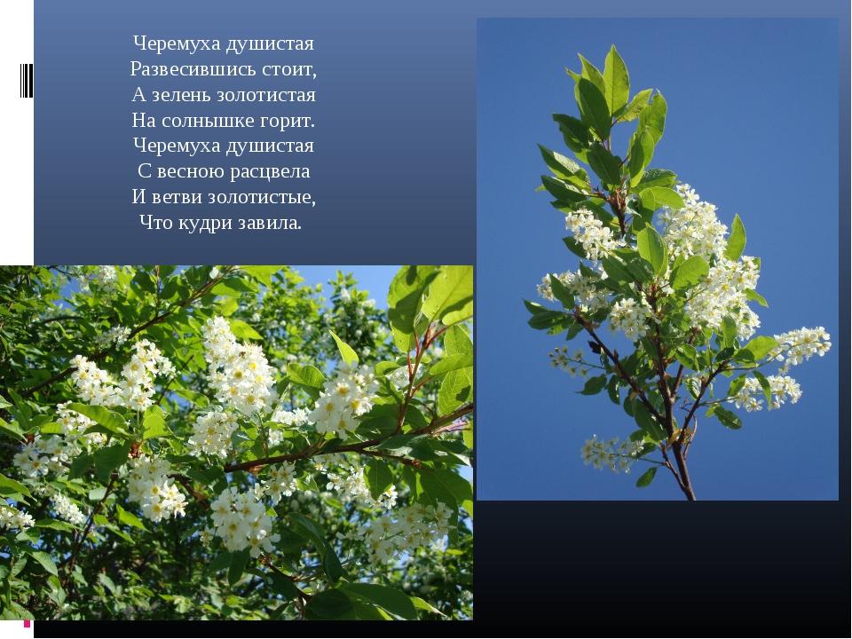 Черемуха душистая Развесившись стоит, А зелень золотистая На солнышке горит....