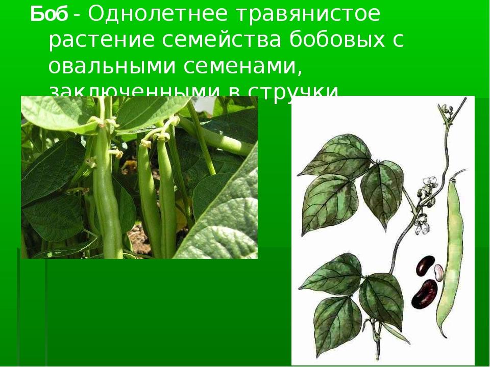 Боб- Однолетнее травянистое растение семейства бобовых с овальными семенами,...