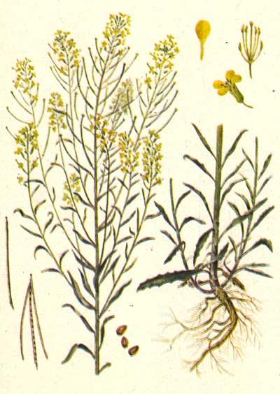 желтушник серый, erysimum diffusum