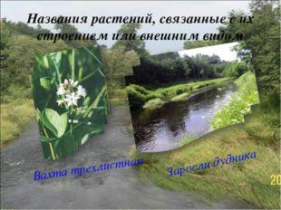 Названия растений, связанные с их строением или внешним видом Вахта трехлистн