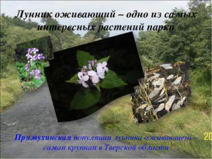 Лунник оживающий – одно из самых интересных растений парка Прямухинская попул