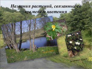 Названия растений, связанные со временем цветения Ветреница лютичная Ветрениц