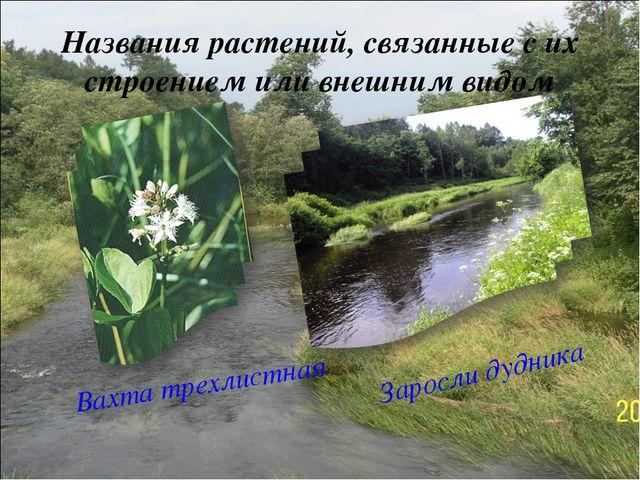 Названия растений, связанные с их строением или внешним видом Вахта трехлистн...