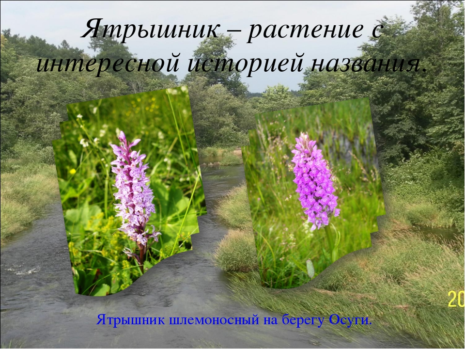 Ятрышник – растение с интересной историей названия. Ятрышник шлемоносный на б...