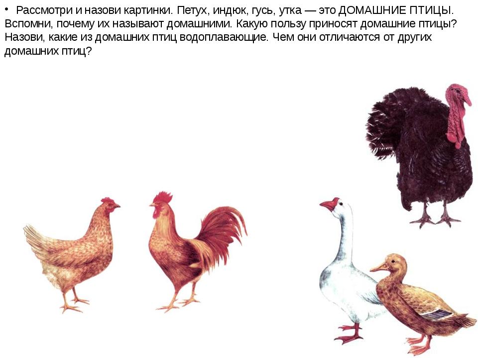 Рассмотри и назови картинки. Петух, индюк, гусь, утка — это ДОМАШНИЕ ПТИЦЫ. В...