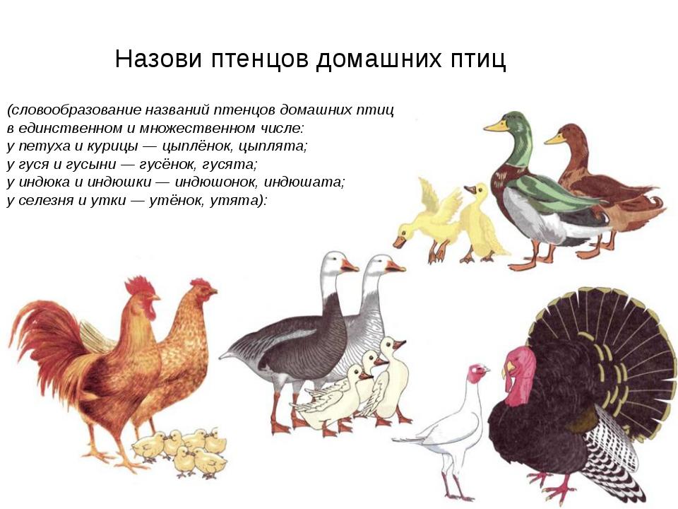 Назови птенцов домашних птиц (словообразование названий птенцов домашних пти...