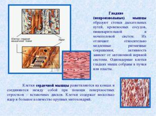 Гладкие (непроизвольные) мышцы образуют стенки дыхательных путей, кровеносны