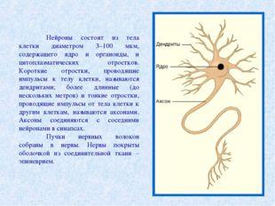 Нейроны состоят из тела клетки диаметром 3–100 мкм, содержащего ядро и орган