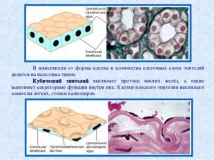 В зависимости от формы клетки и количества клеточных слоев эпителий делится